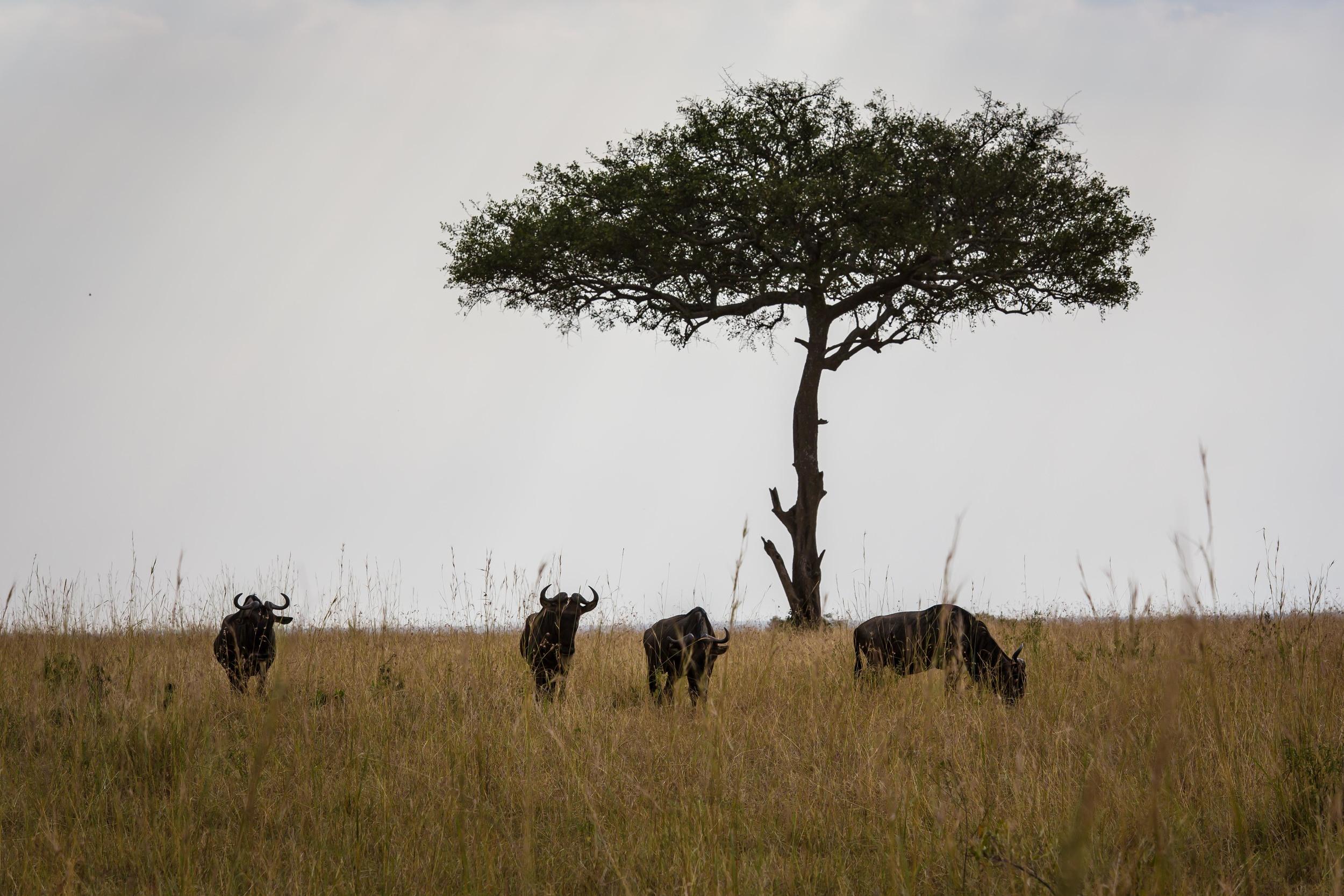 Wildebeest Grazing on the Masai Mara