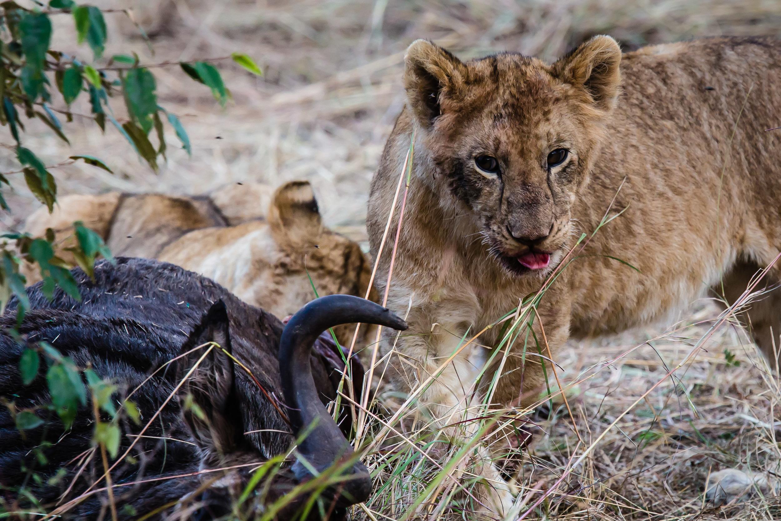 Sharing the Kill on the Masai Mara