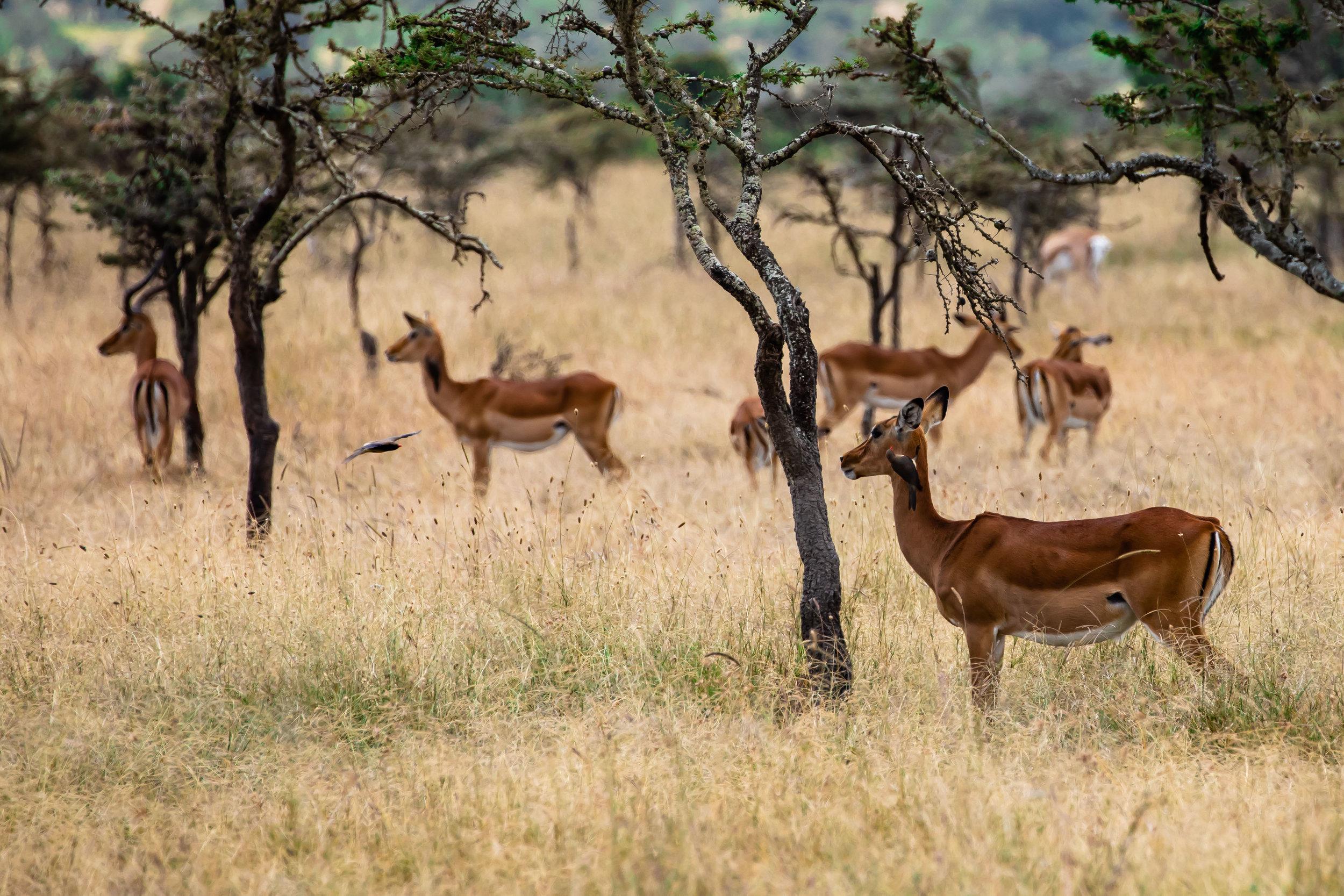 Deer and Bird Buddies, Ol Pejeta Reserve, Kenya