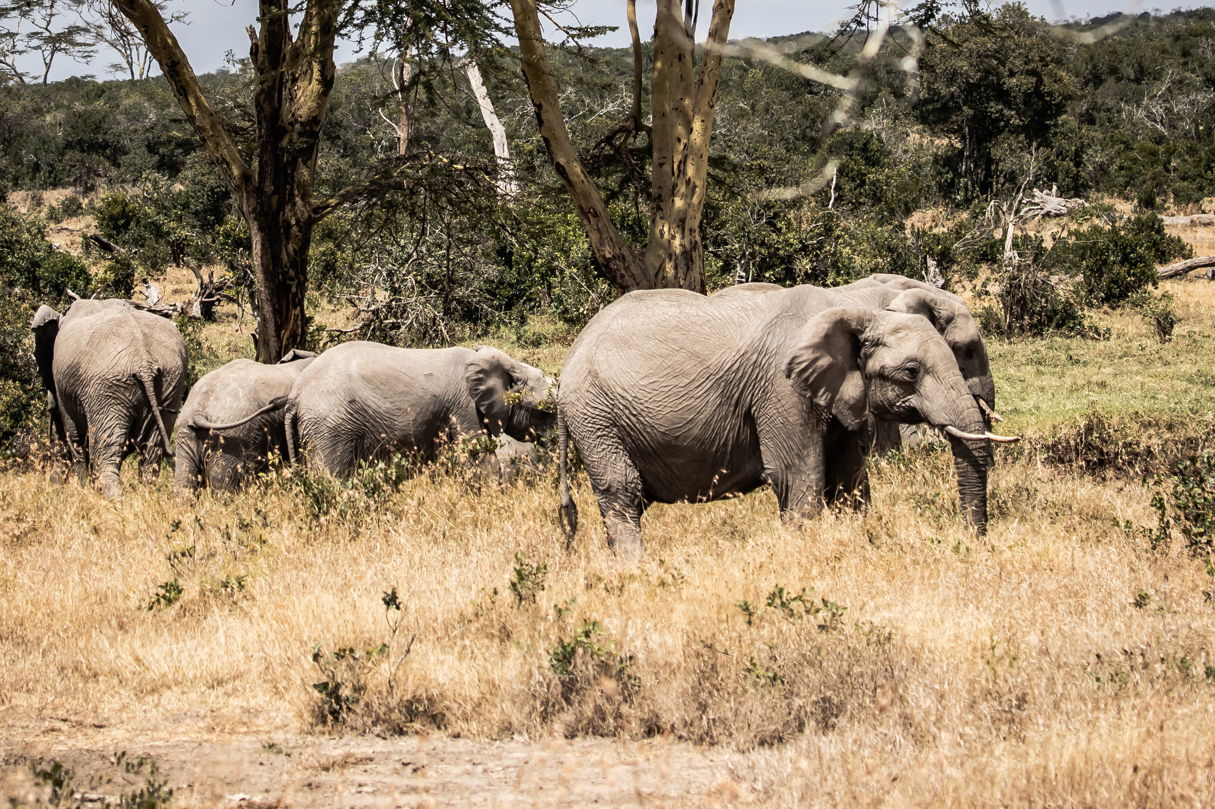 Elephants on the move, Ol Pejeta Reserve, Kenya