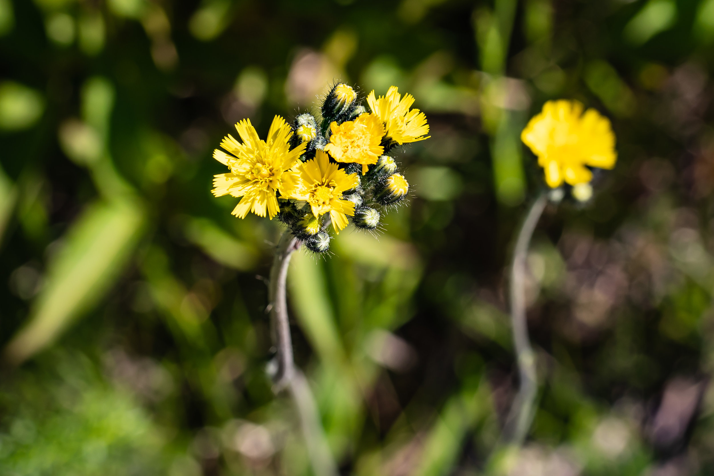 Minnesota North Shore Forest: Sow Thistle