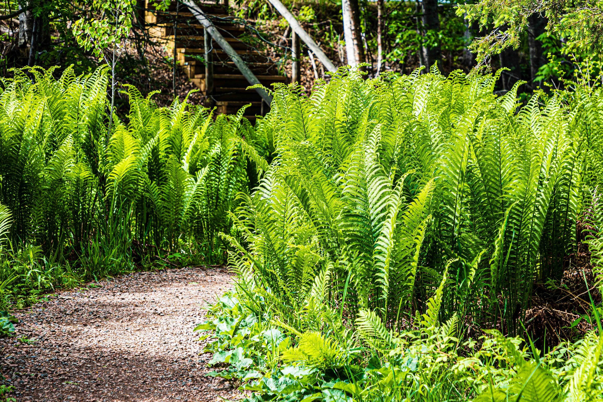 Minnesota North Shore Forest: Lush Ferns