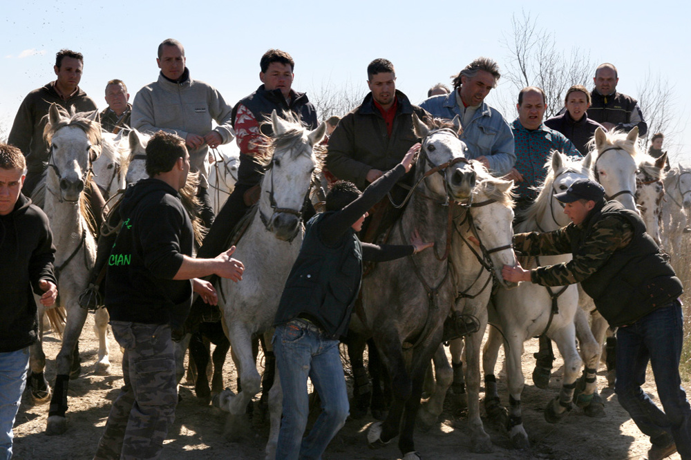 Rounding up the bulls for the abrivado, France