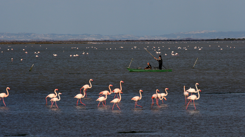 Flamingos in The Camargue, France