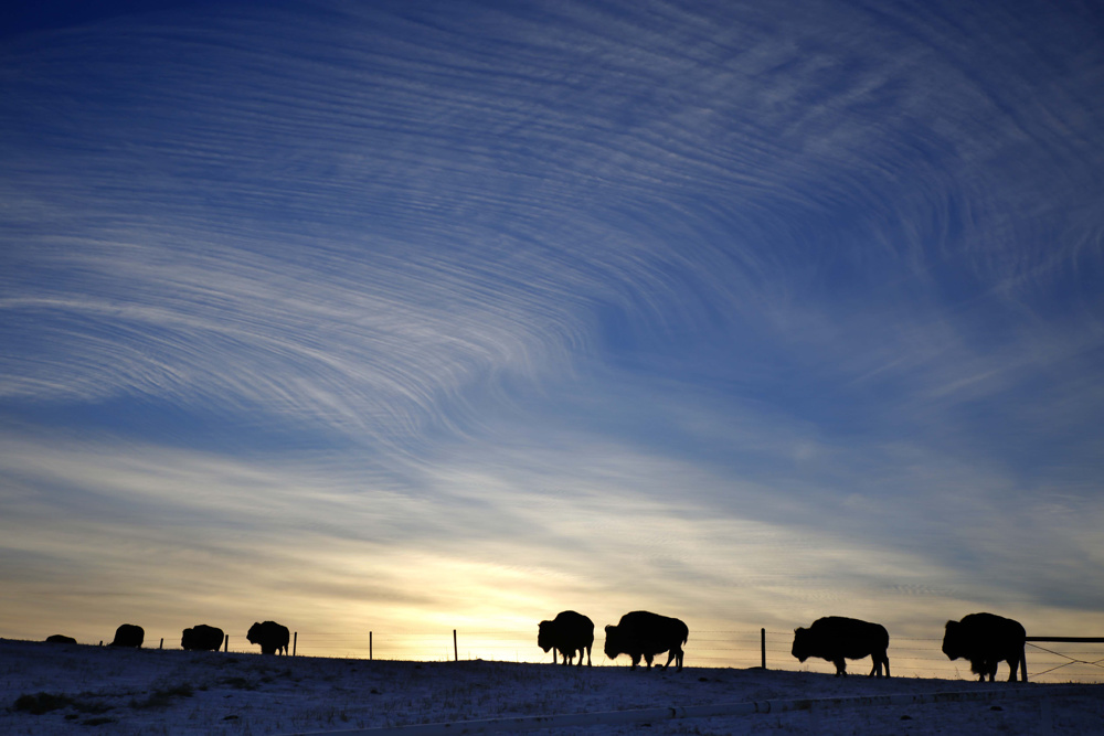 Buffalo by Longview