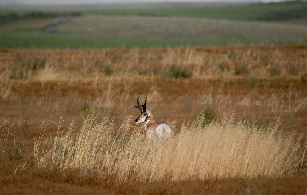 Pronghorn buck, Saskatchewan