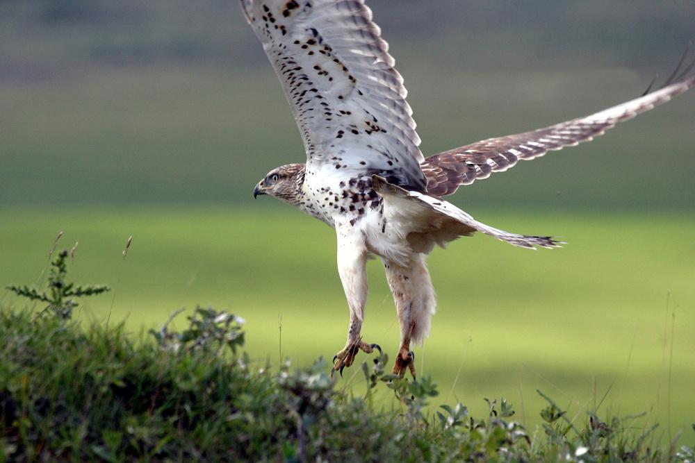 Feruginous hawk