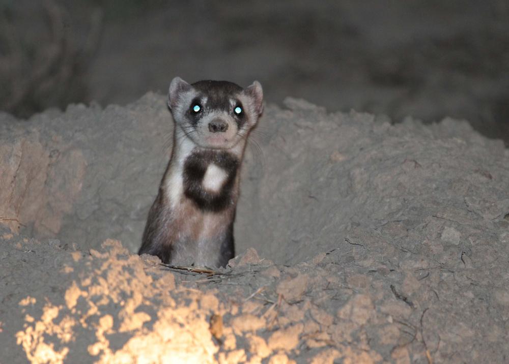 Black-footed ferret, Grasslands National Park