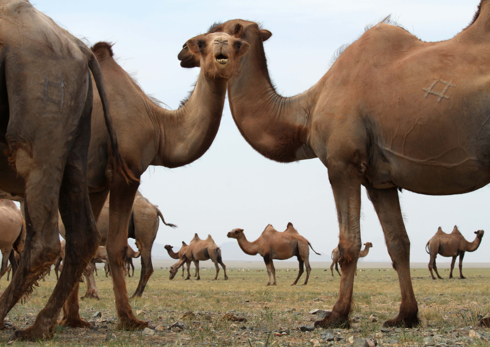 A herd of camels on the edge of the Gobi desert about 400km south-west of Ulaanbataar, Mongolia