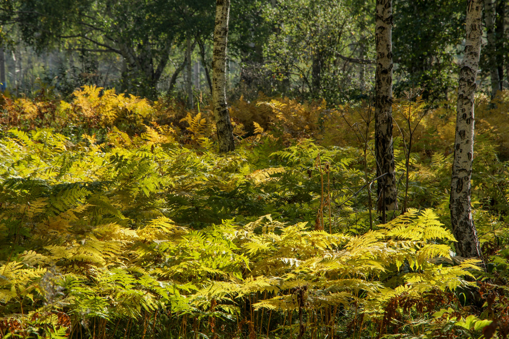 Fall ferns, Siberia