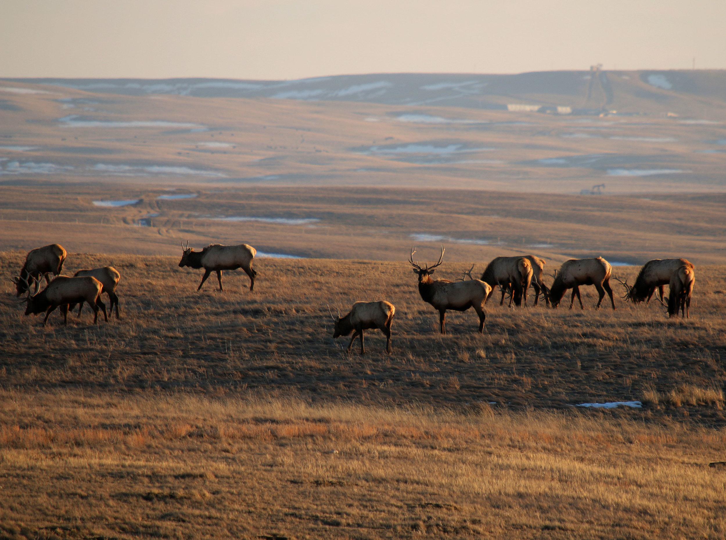 Elk on the prairie in the Milk River valley.