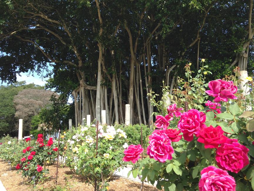 Mable's rose garden.
