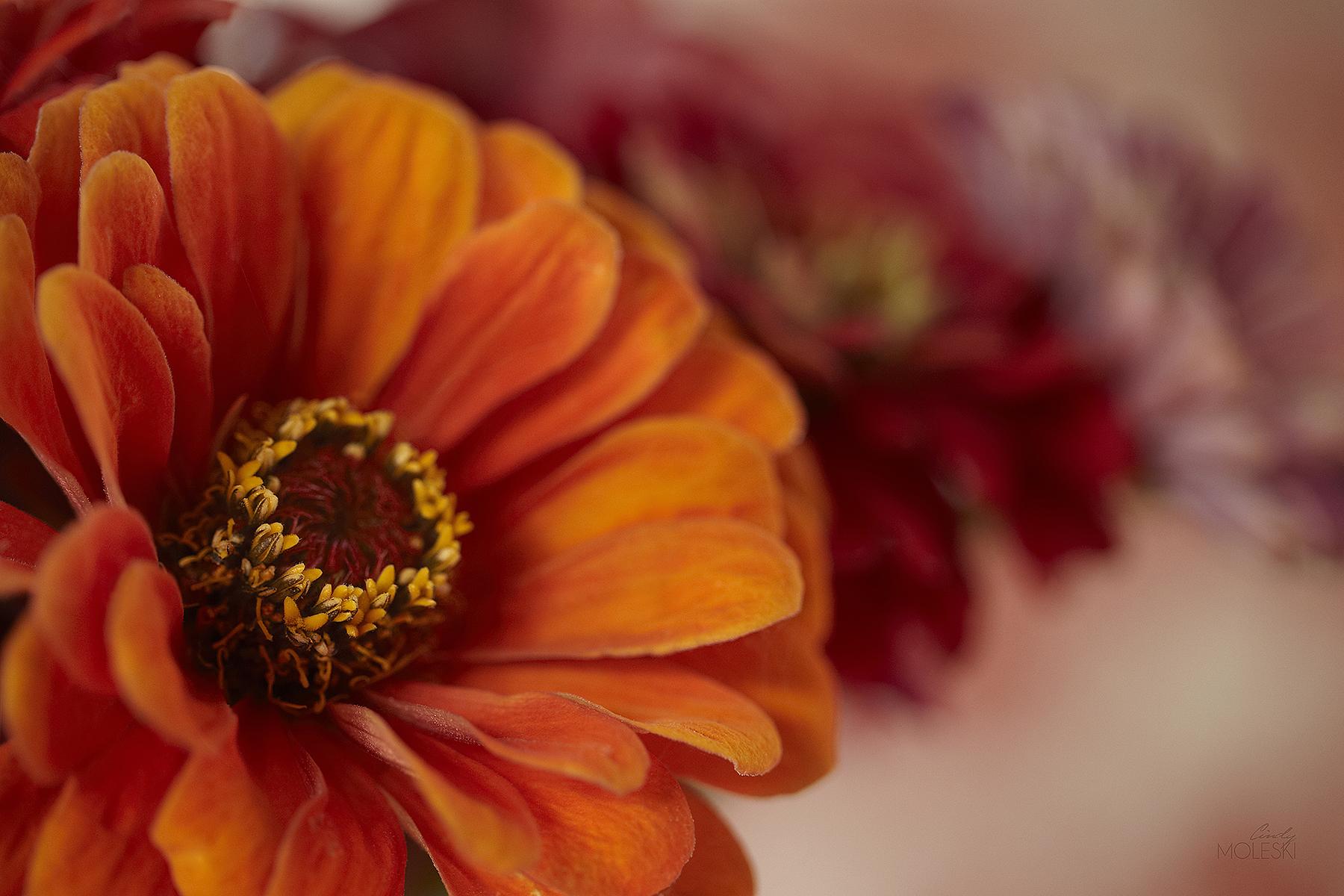 Old Fashioned-cindy-moleski-professional-photographer-saskatoon-saskatchewan-floral-zinnia-orange-red-russet-burgundy-lavender-violet-purpleFB.jpg