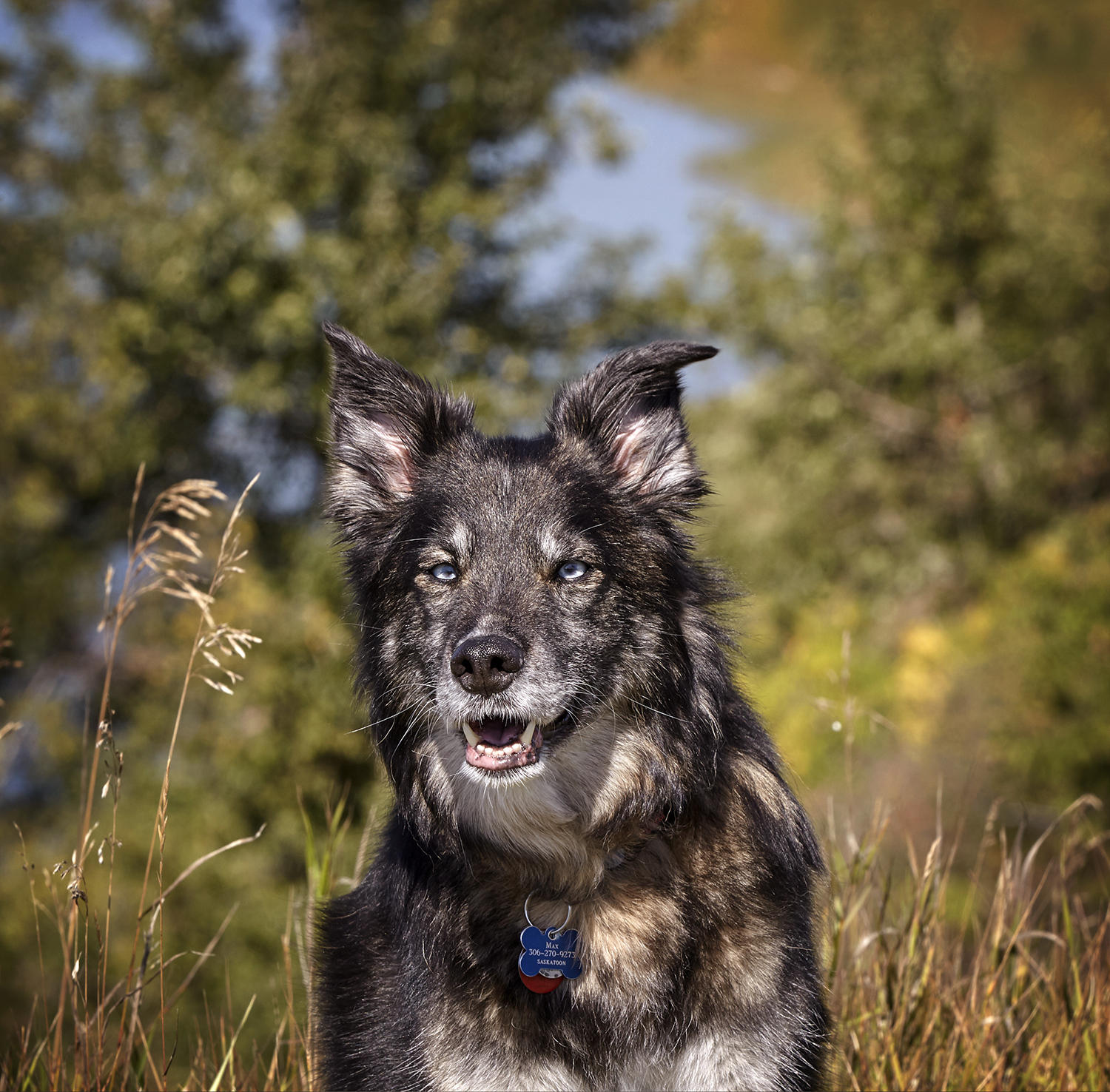 cindy-moleski-professional-photographer-saskatoon-saskatchewan-pets-dogs-huskycross-blue eyes-south saskatchewan river-29588-0060e copy.jpg
