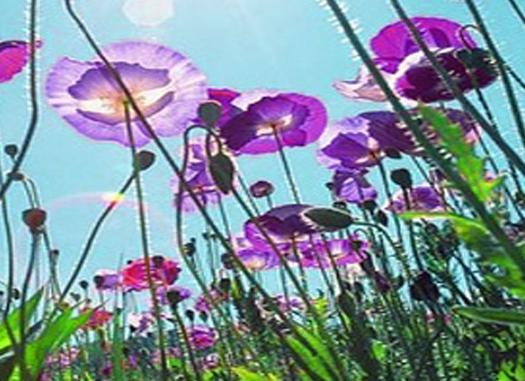 paarse-bloemen.jpg