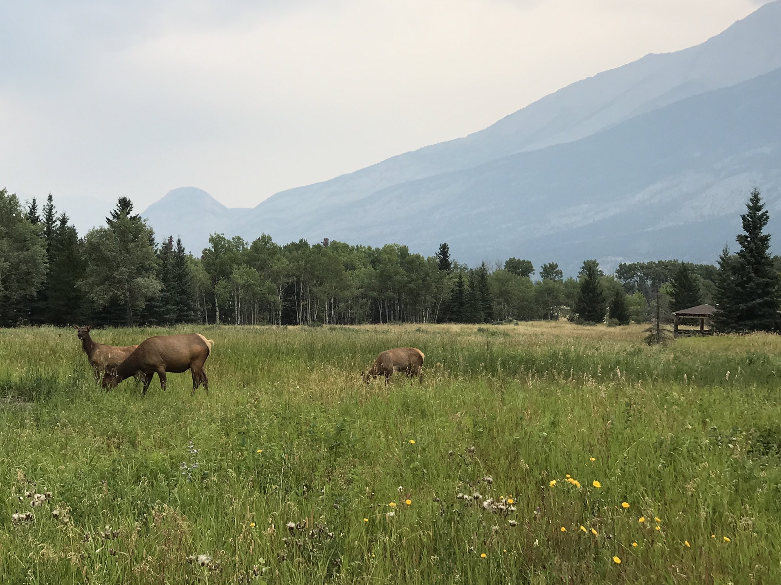 Elk in Field.jpg