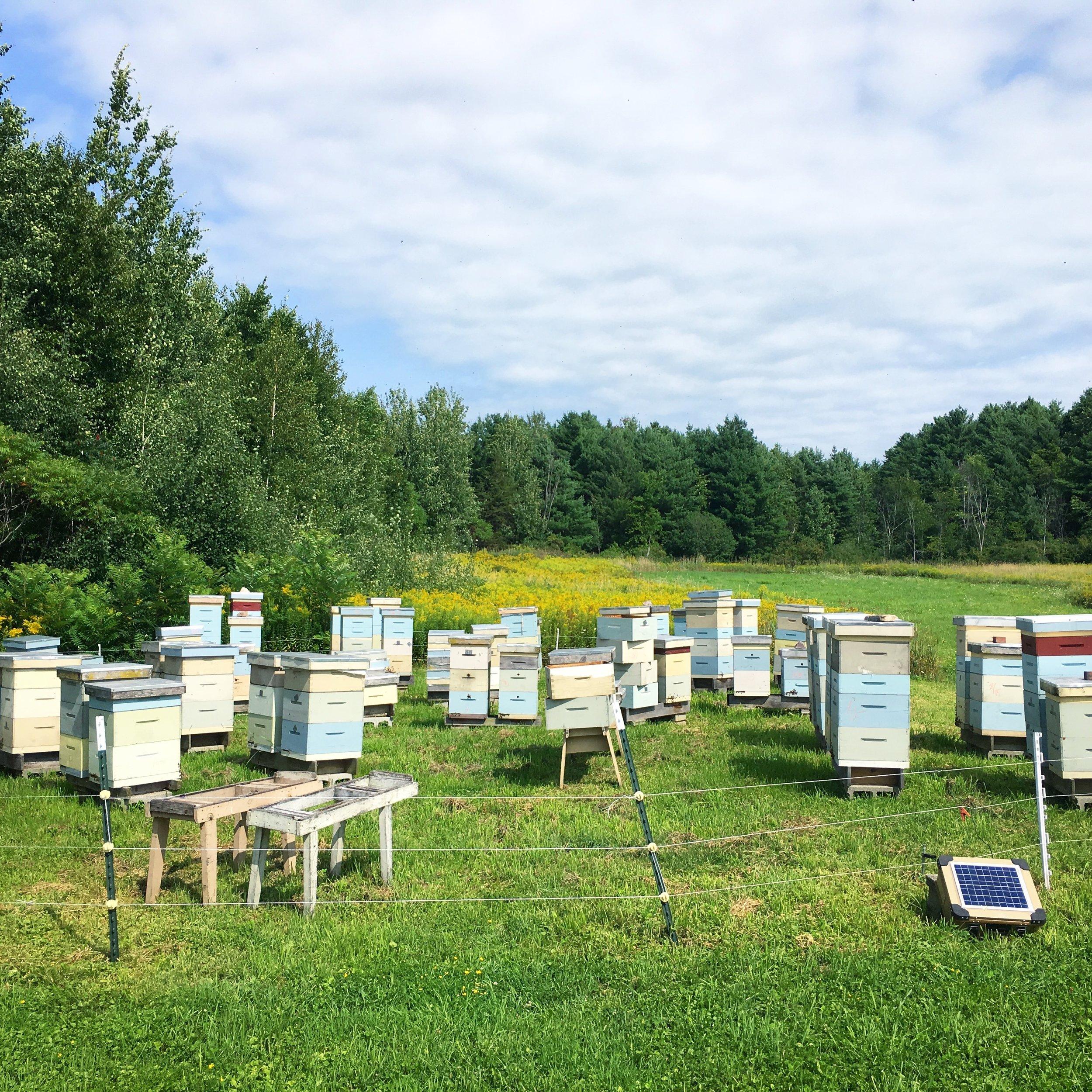 Bee yard late in summer.