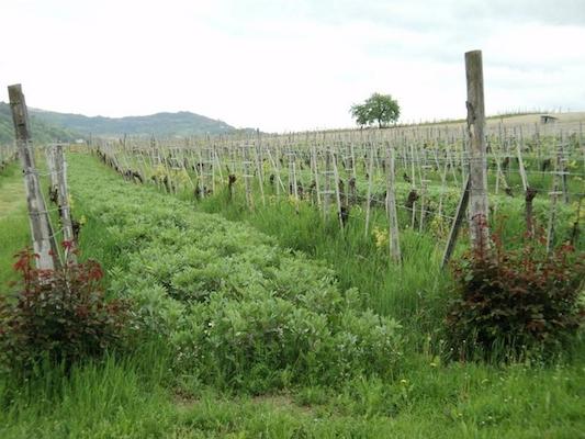 Carussin wijngaard