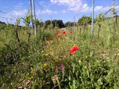 Vino Per Tutti - Raina - wijngaard - vines