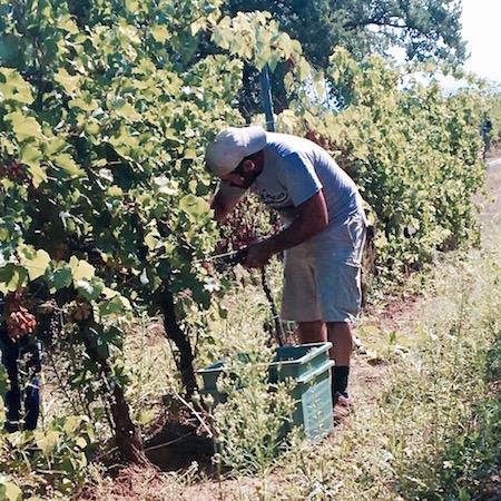 Diego Calcabrina aan het werk in de wijngaard