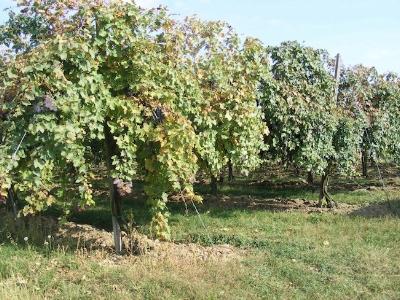 Wijngaard Azienda Agricola Gatti