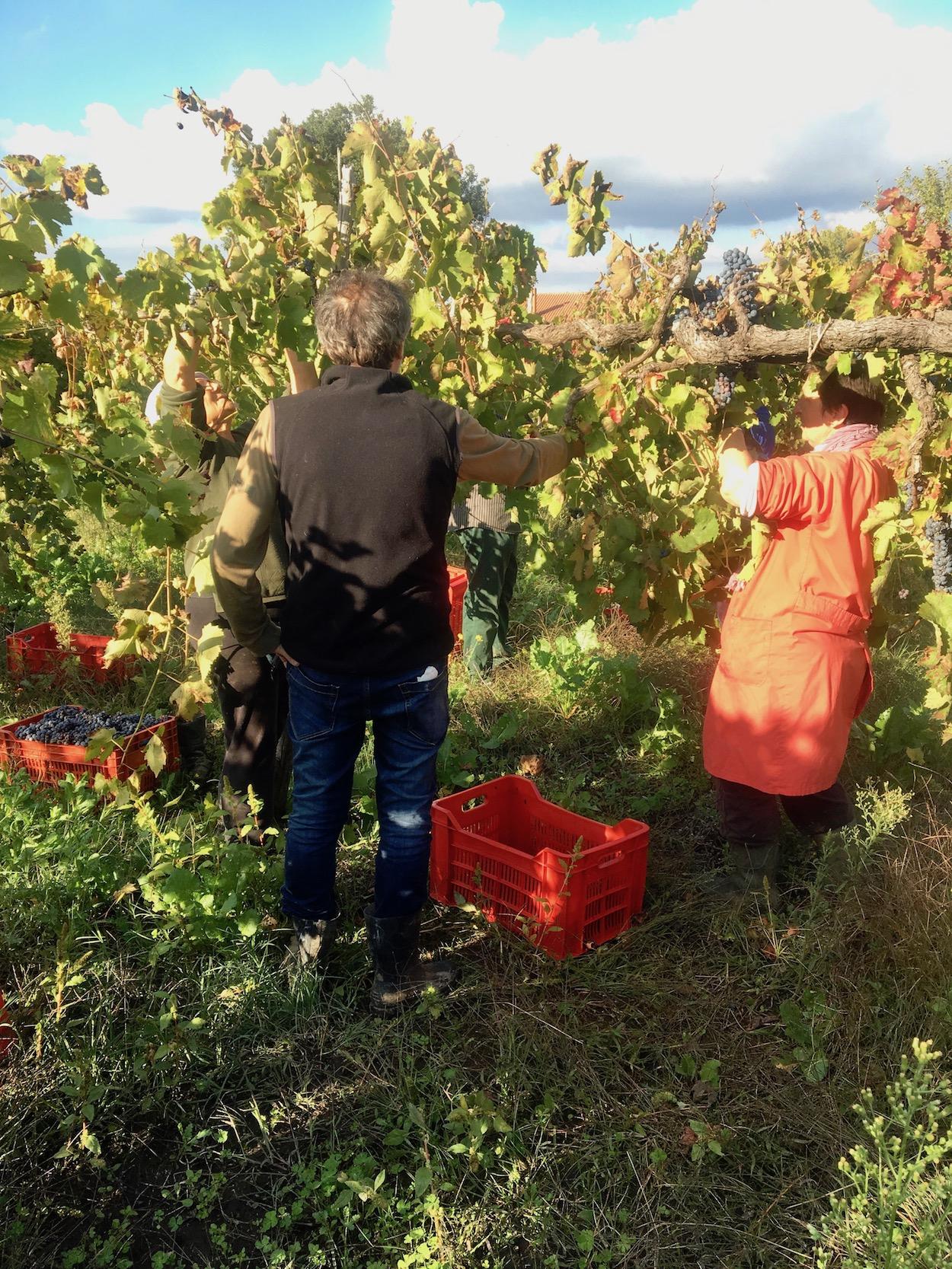 Aglianico oogst Vino Per Tutti Cantina Giardino 1.jpg