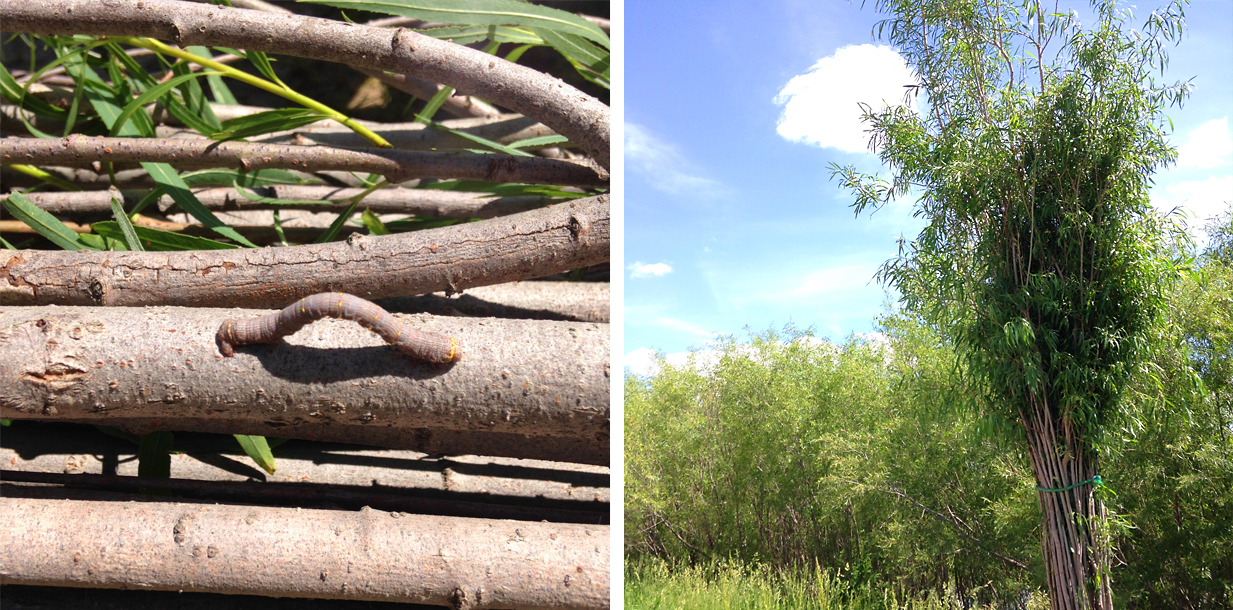 I'll send photos from the wildcraft harvesting of your Thicket's willow, including any sweet critters we encounter.