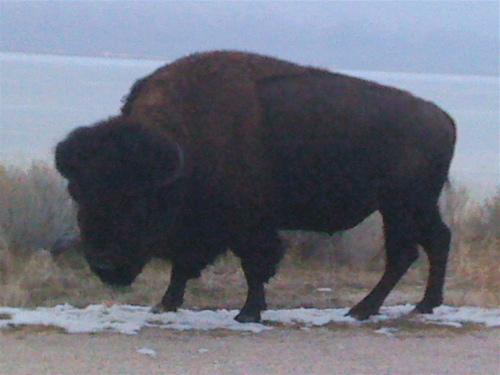 american bison, antelope island UT