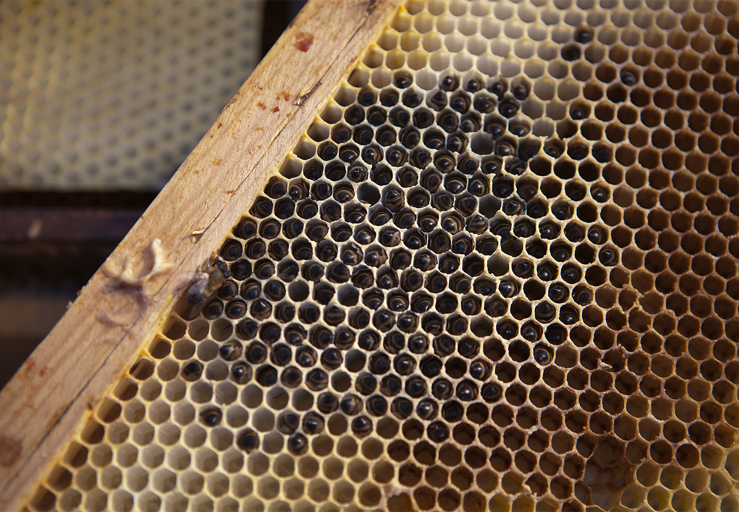 Renee Ricciardi Vivum ex Vivo Biogenesis 12 Bee Honey Comb.jpg
