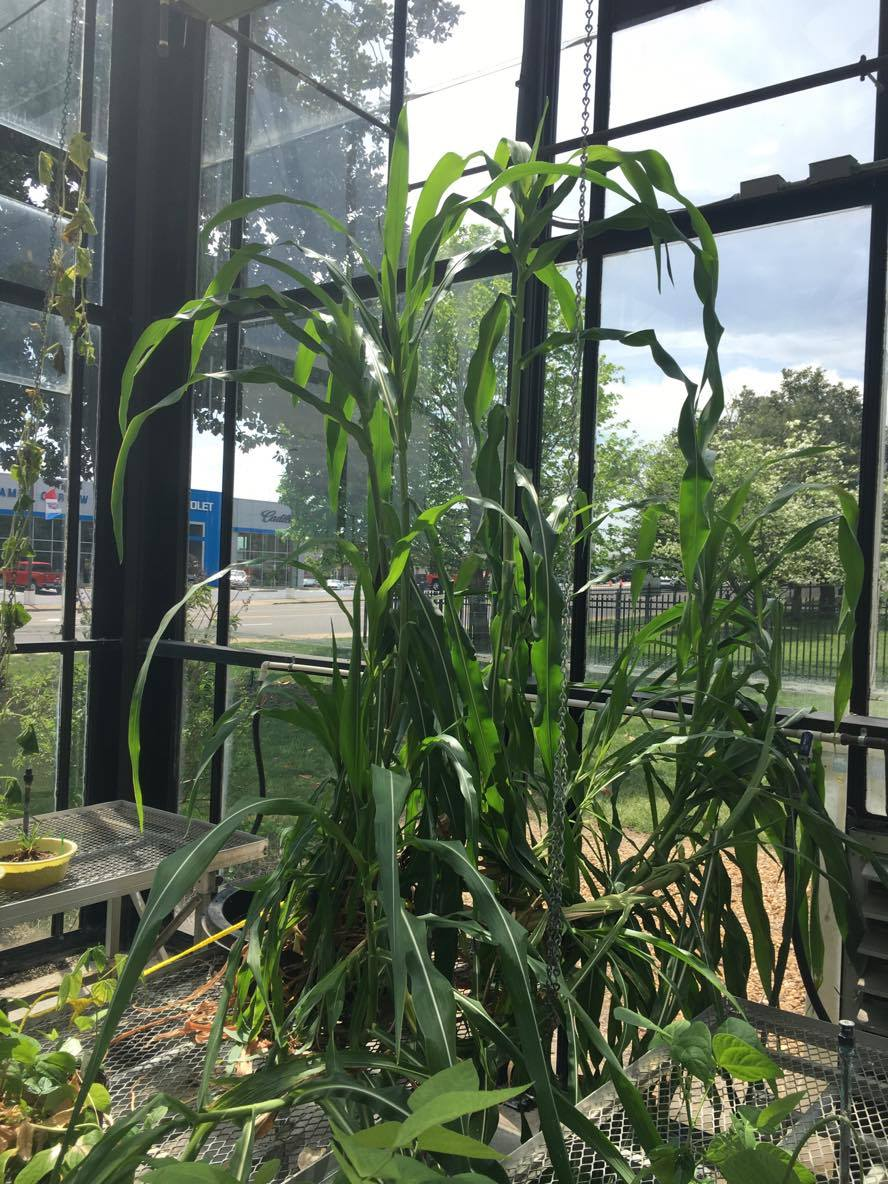 Zea mays ssp. parviglumis courtesy of Stephen Smith, growing at Austin Peay State University greenhouse.