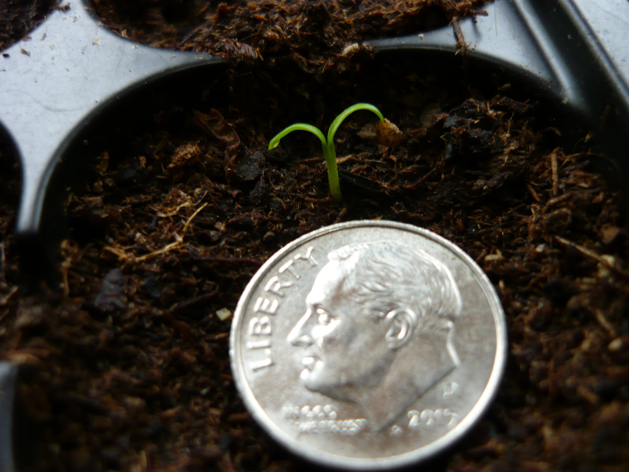 ashwagandha seedling, photo by Richard Herman