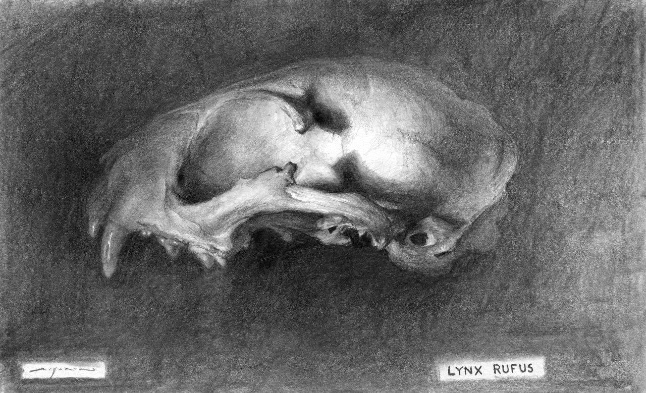 Lynx Rufus - 5 x 8 inches - Graphite on Paper - 6/2014