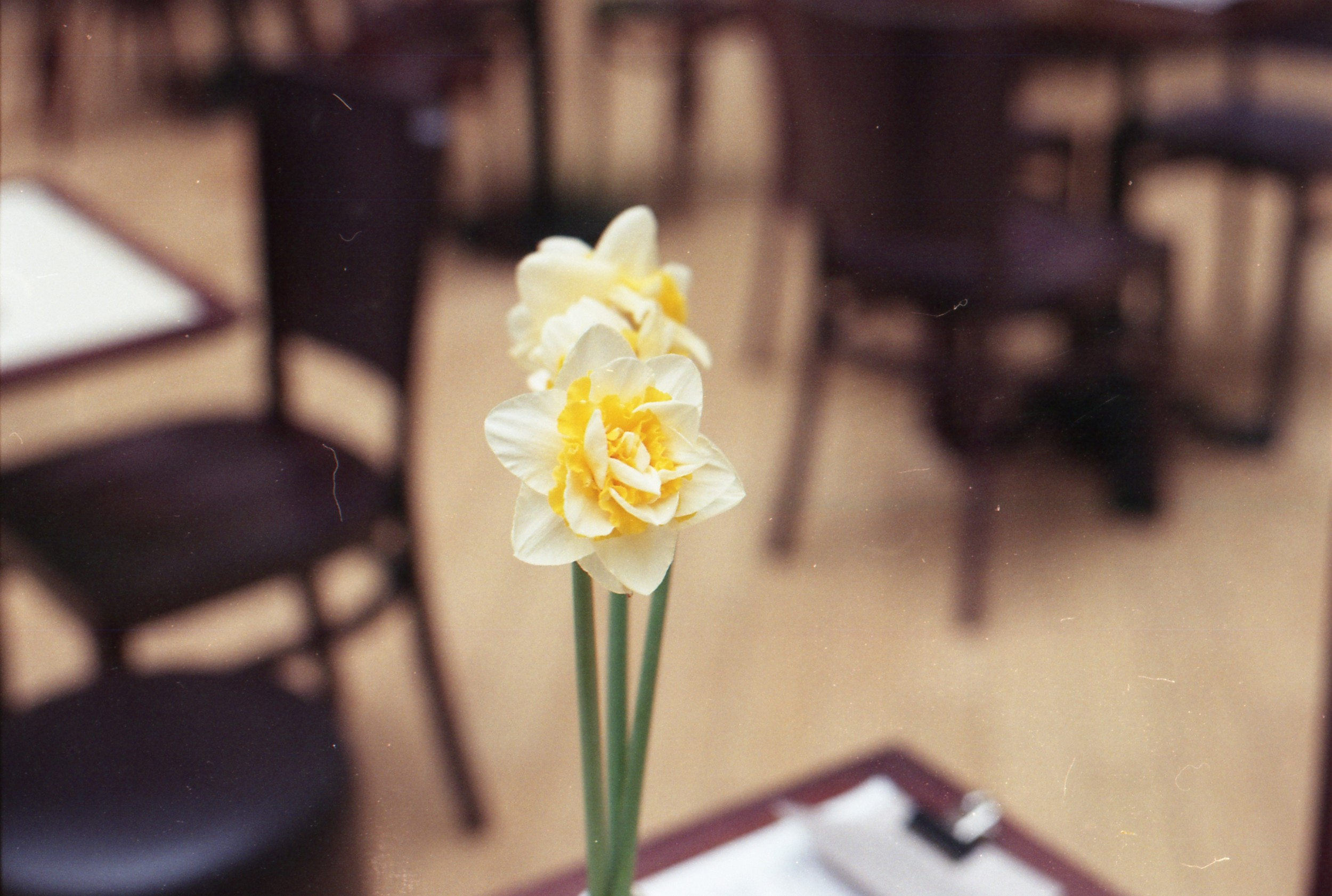 70/366 - I shared a photo of this on Instagram - its the pretty version of a daffodil I've ever seen. It doesn't even look real!