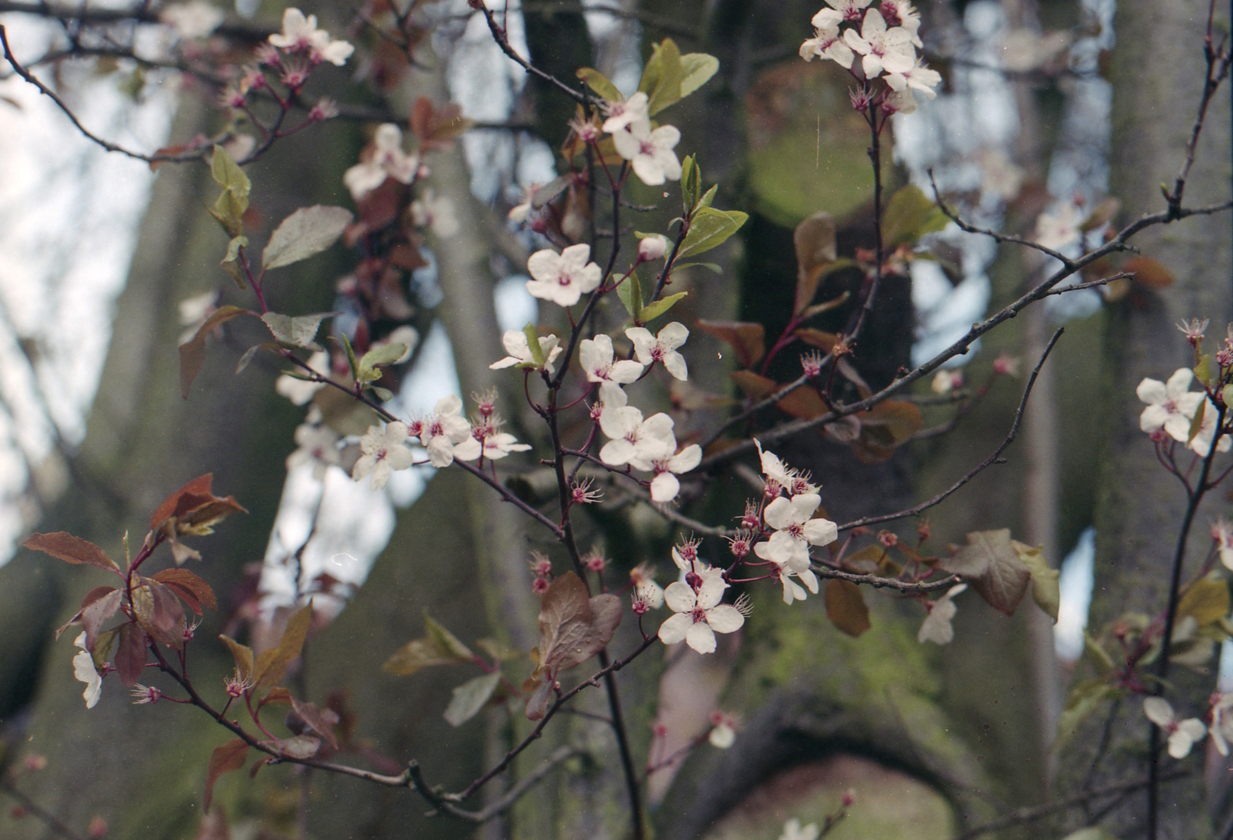 88/366 - Yeay blossom and its looking more like Spring everyday :)