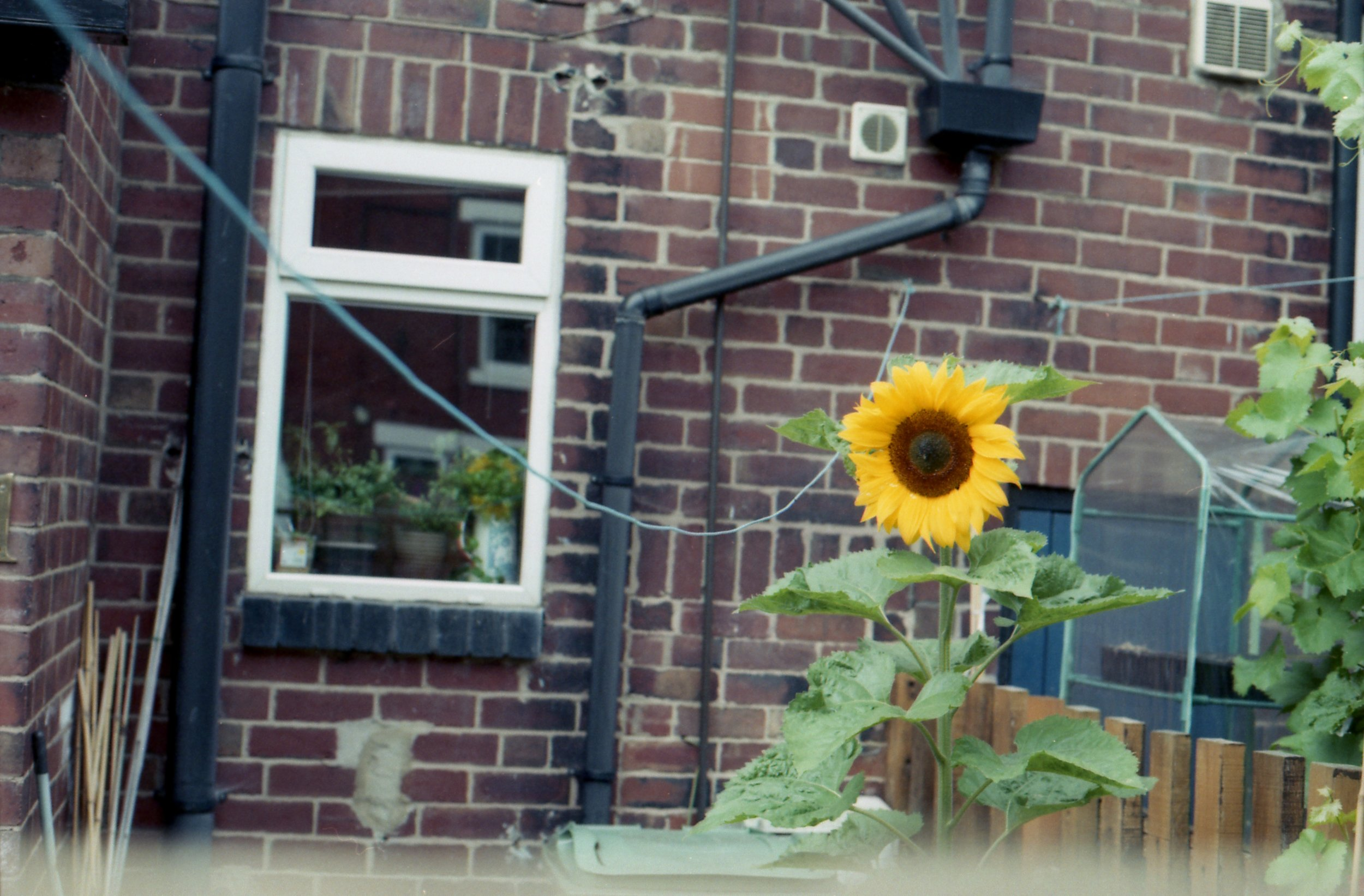 213/366 - A lovely and really quite tall sunflower caught my eye.