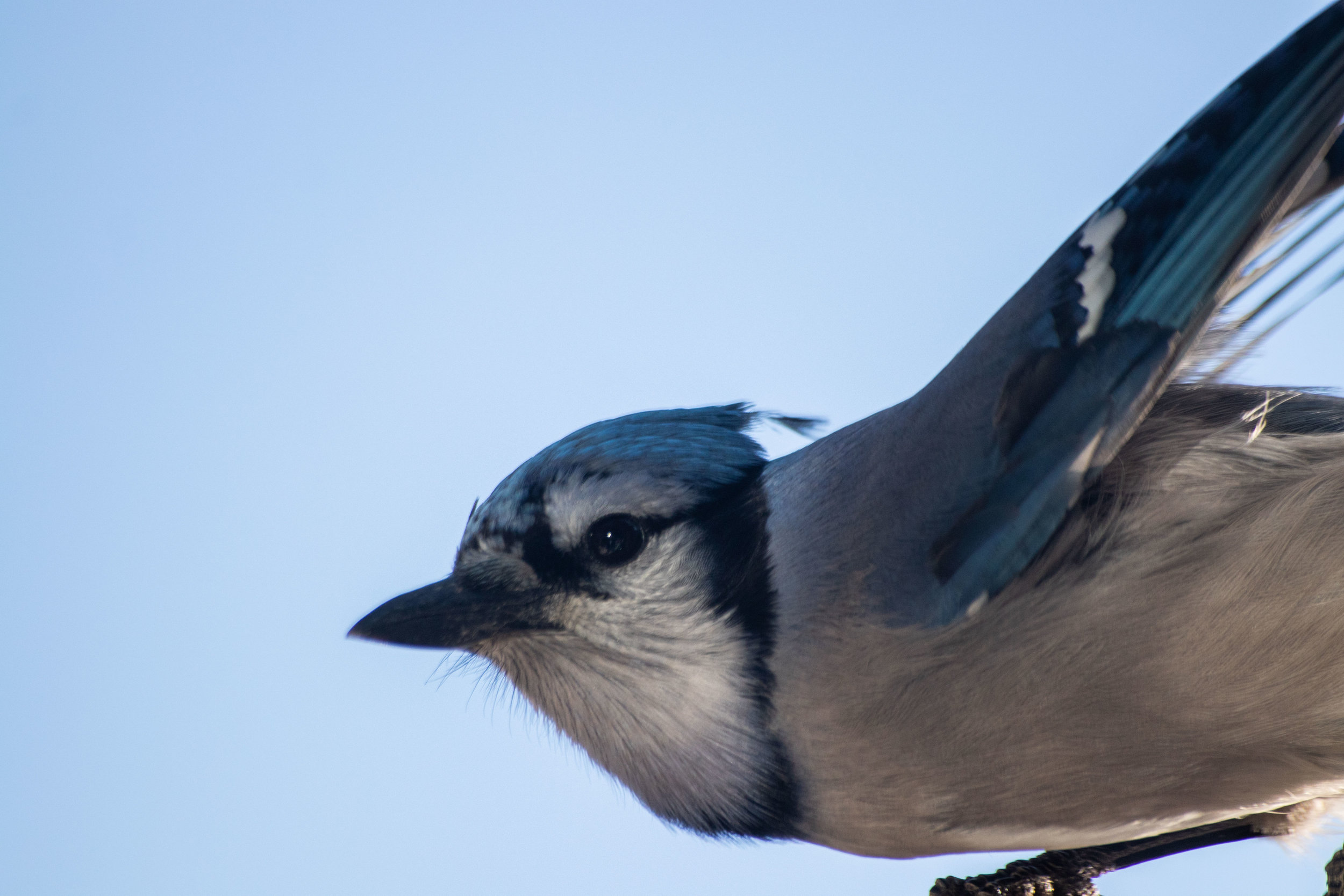 Blue Jay (cheeky little things)