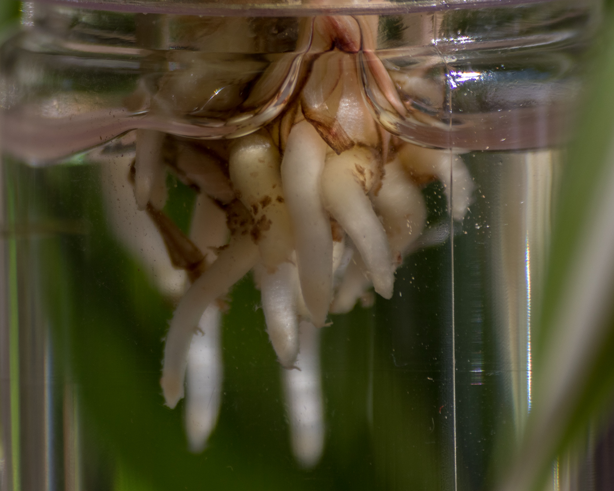 Curly Spider Plant roots