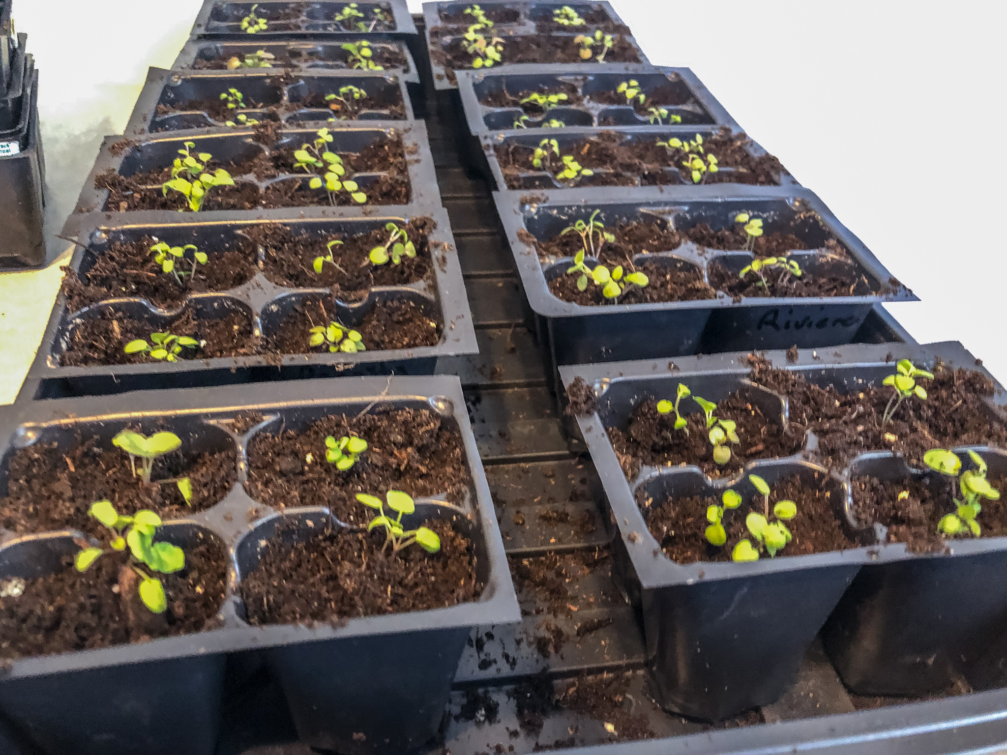 Finished trays of transplanted pansy seedlings.