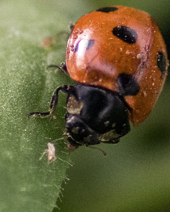 Yah! Eat those aphids! The ladybug actually has one in its mouth in this photo.