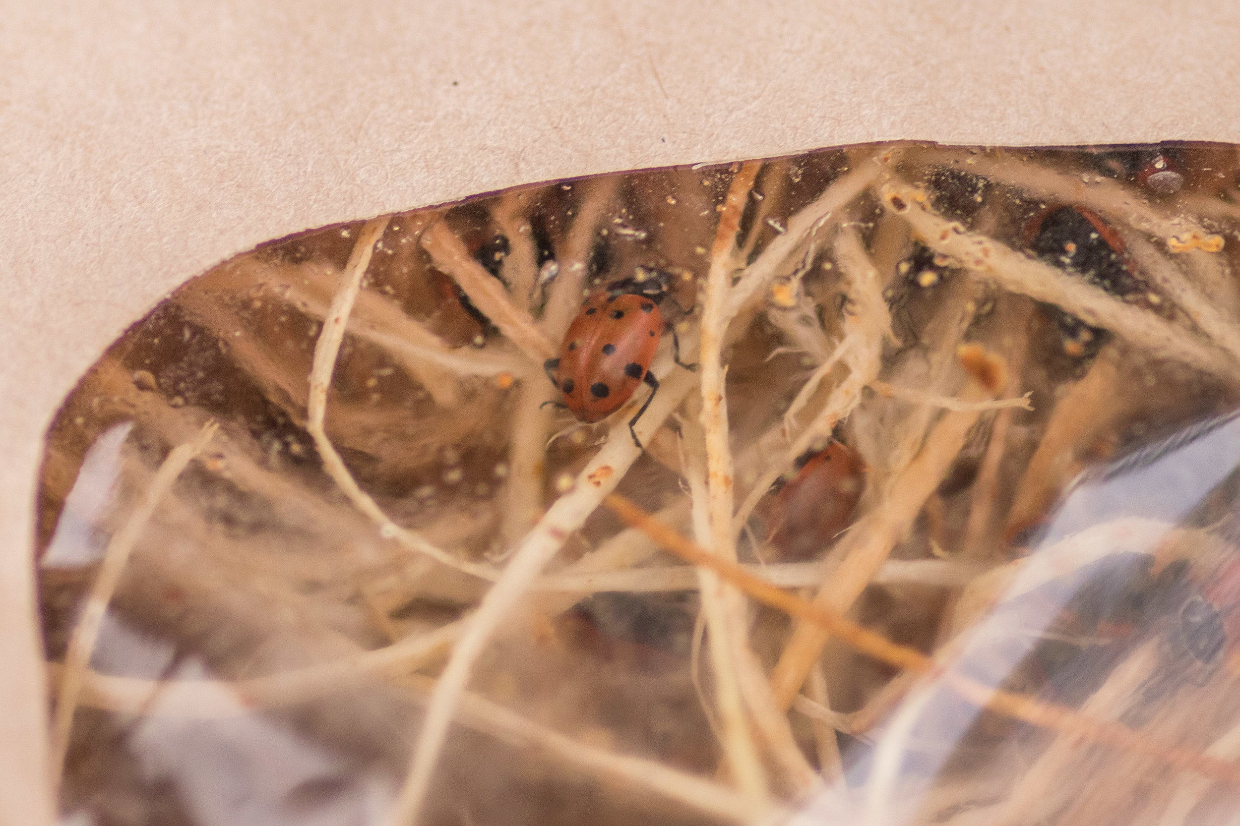 Ladybugs in their bag