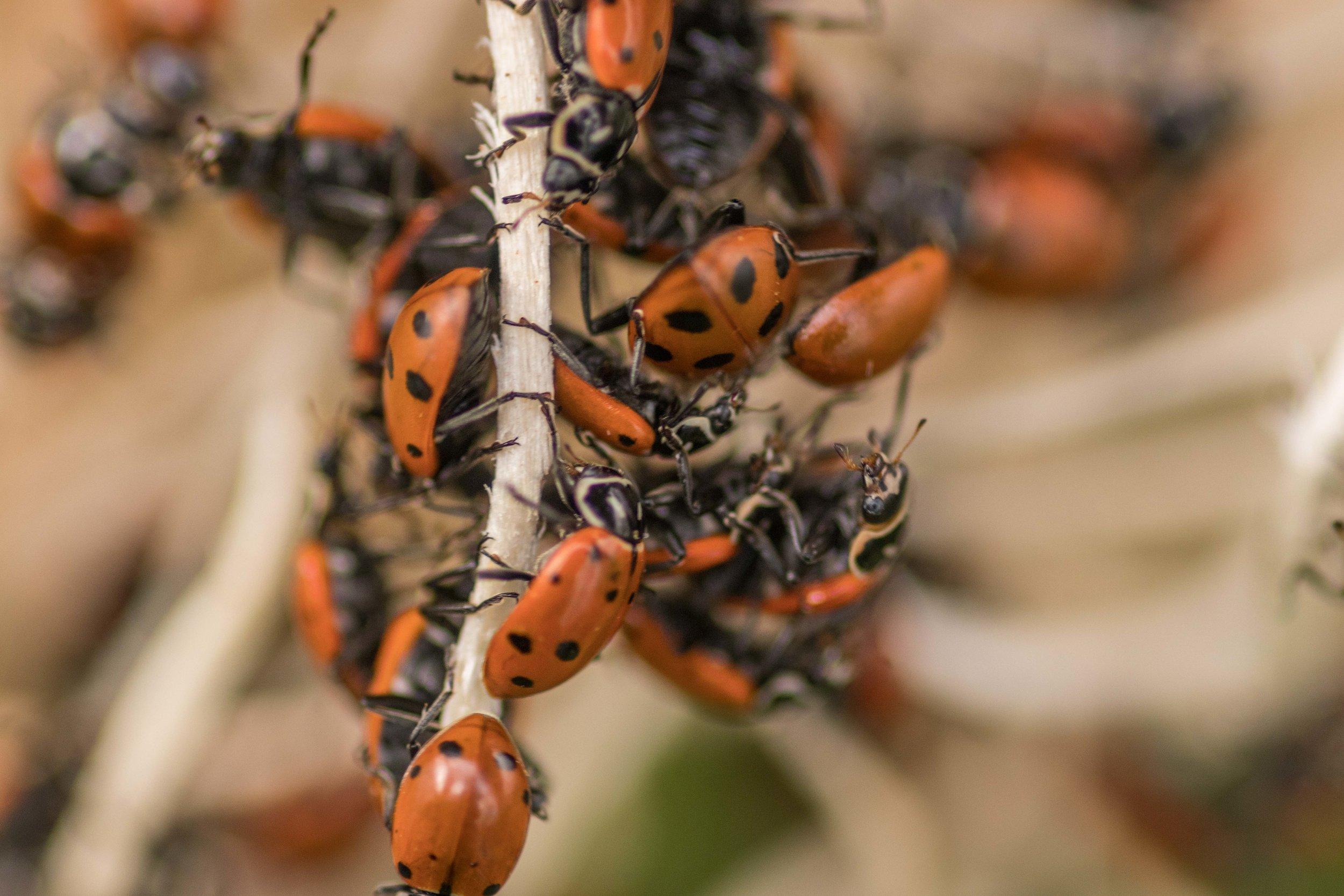 Ladybugs waking up