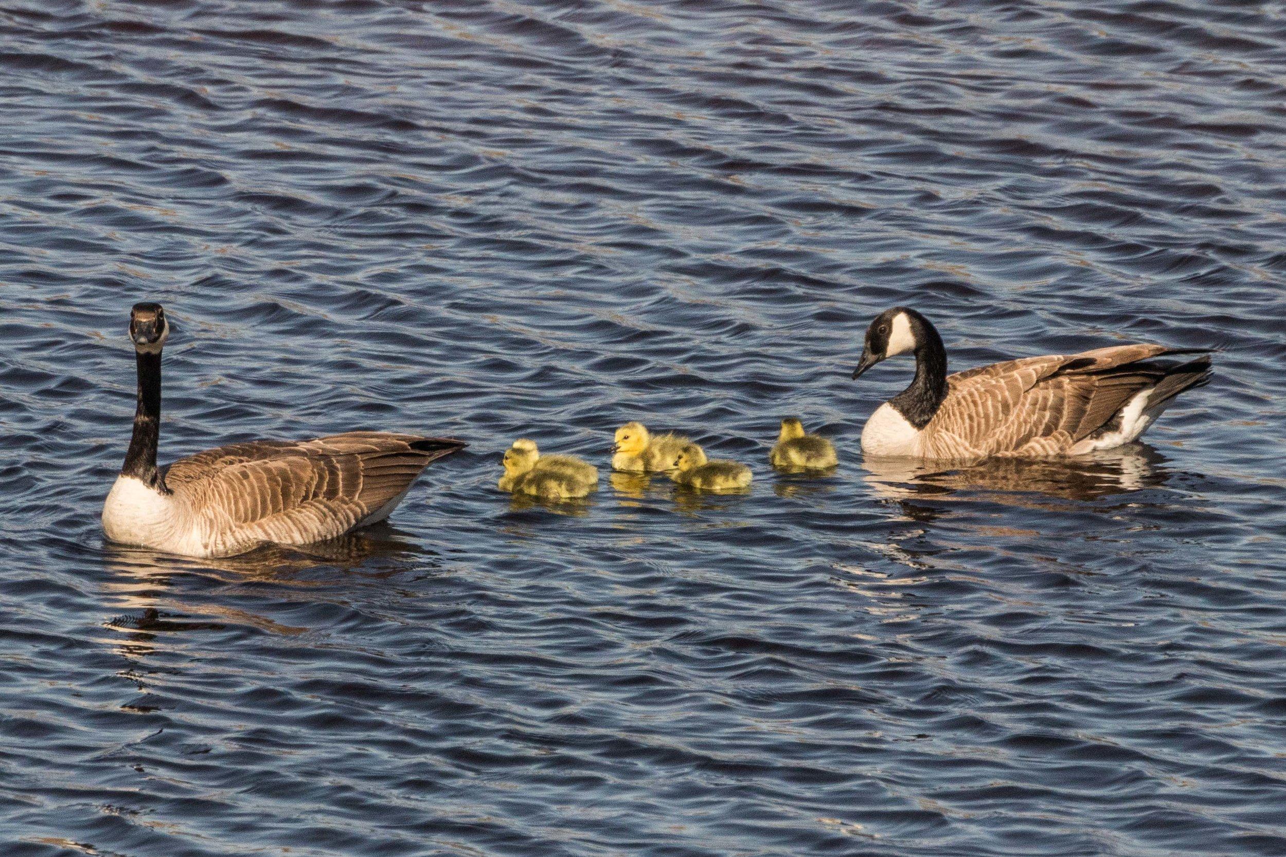 geese-10.jpg