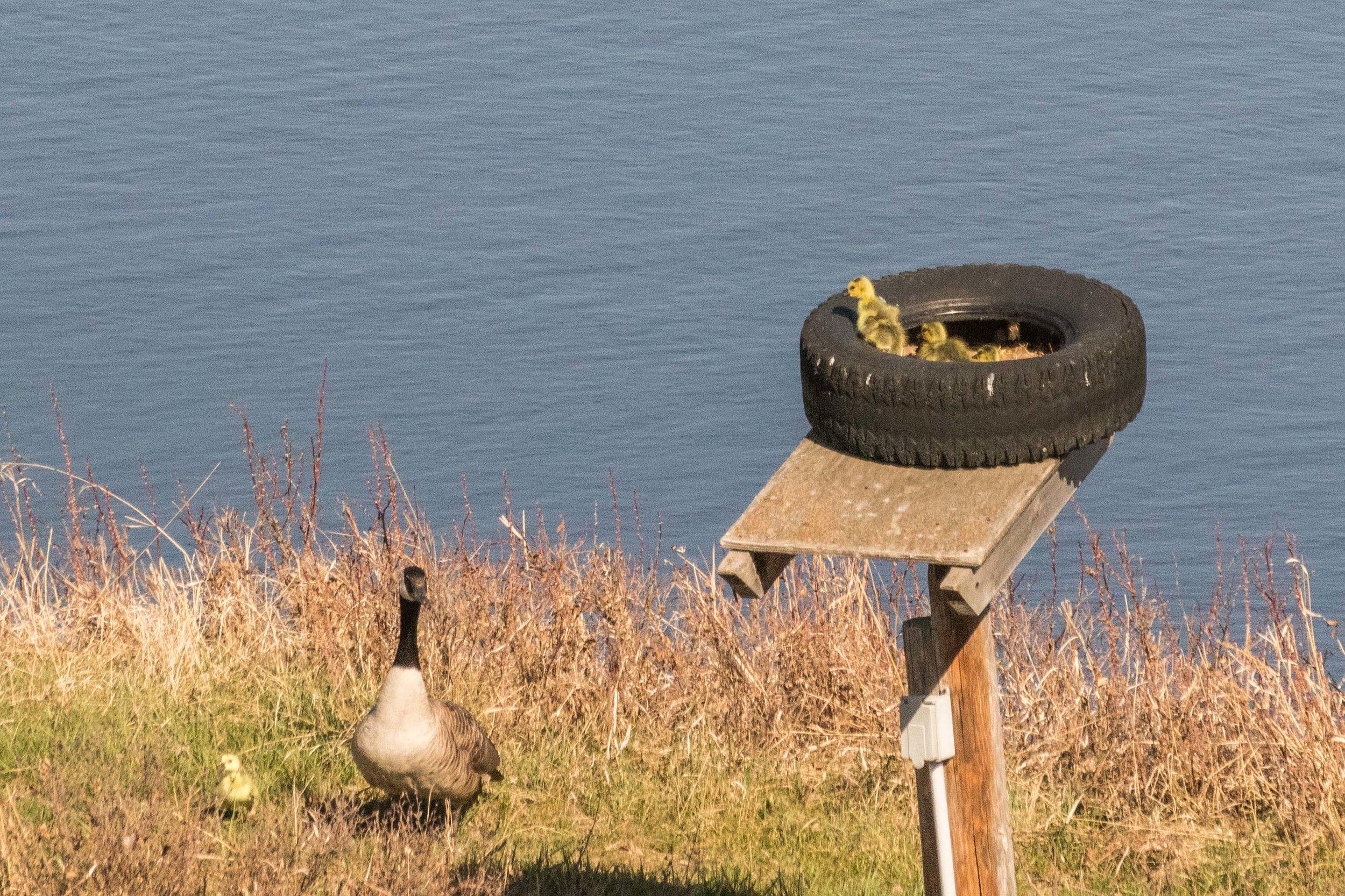 geese-1.jpg