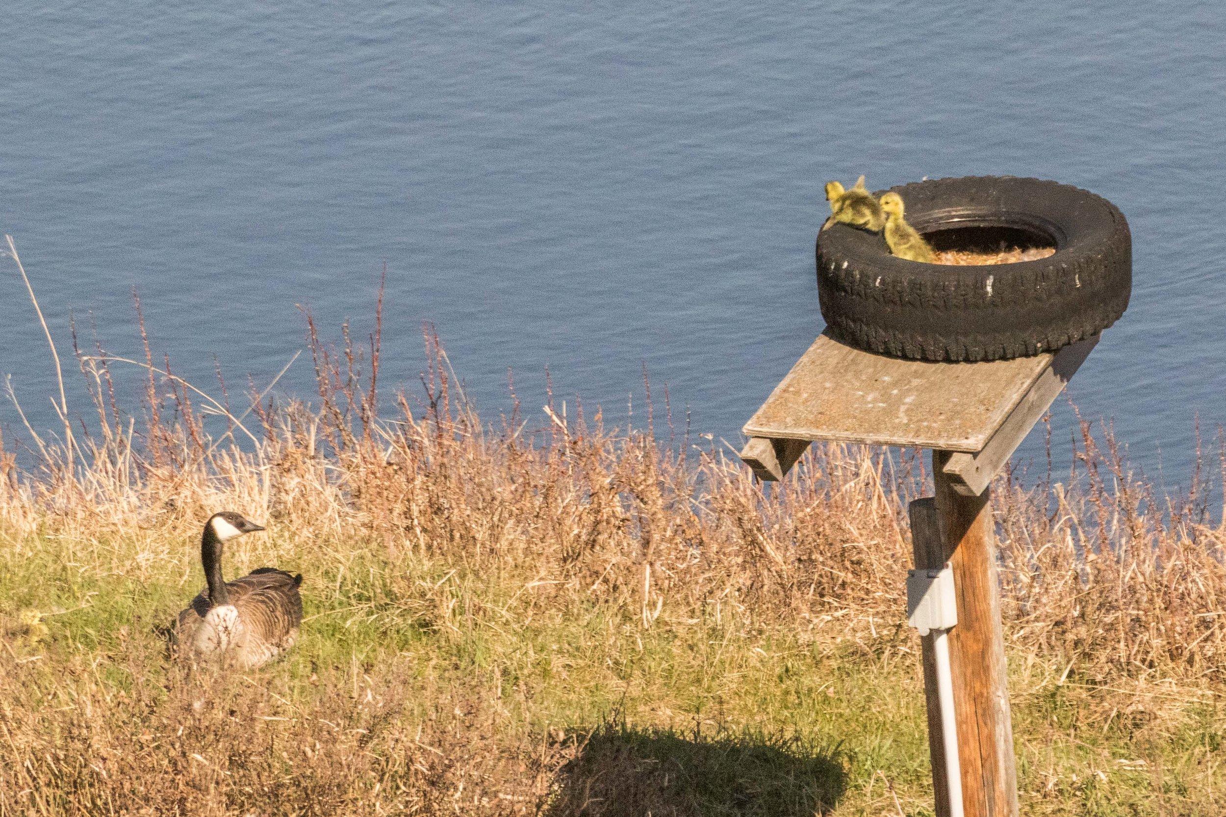 geese-3.jpg