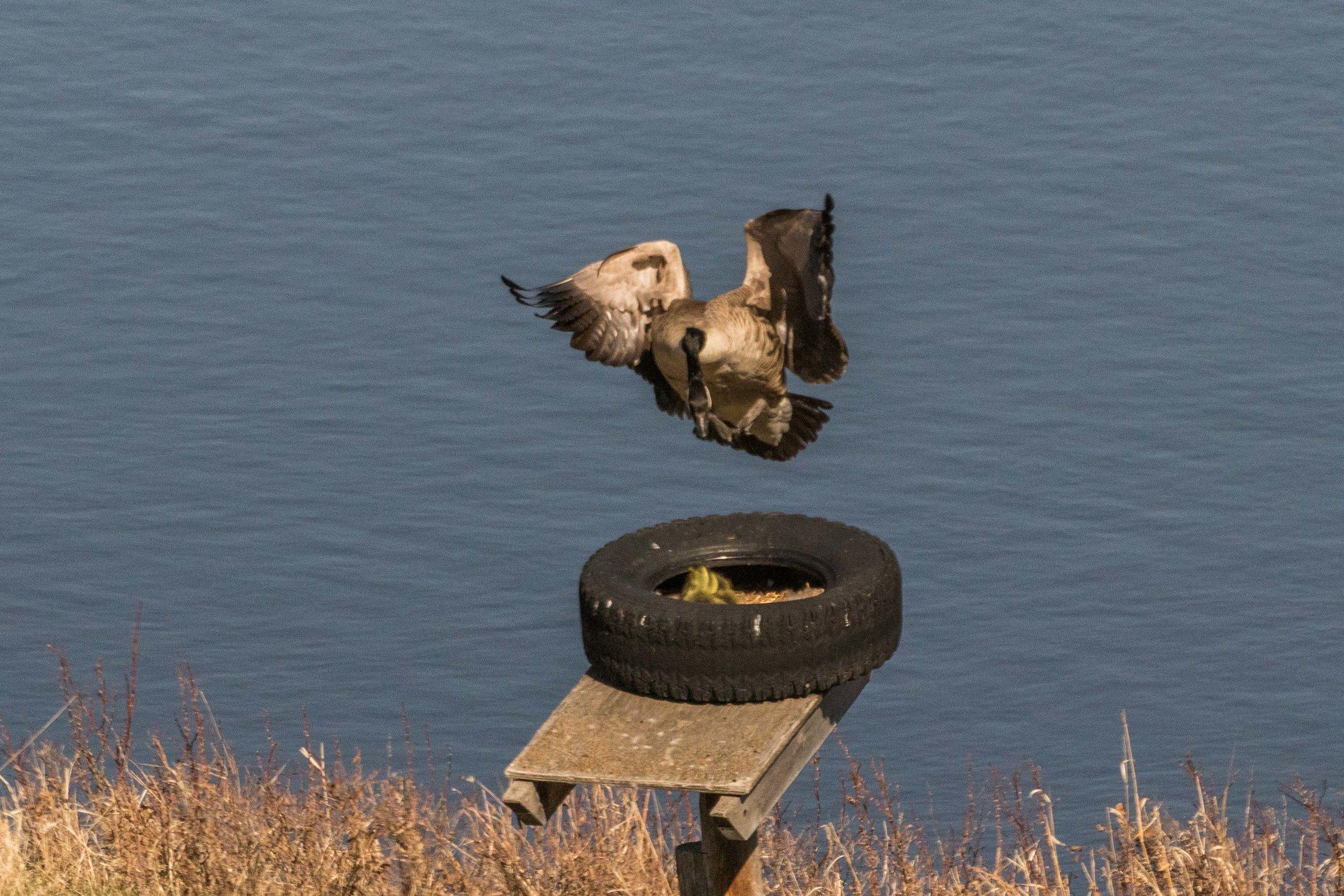 geese-4.jpg