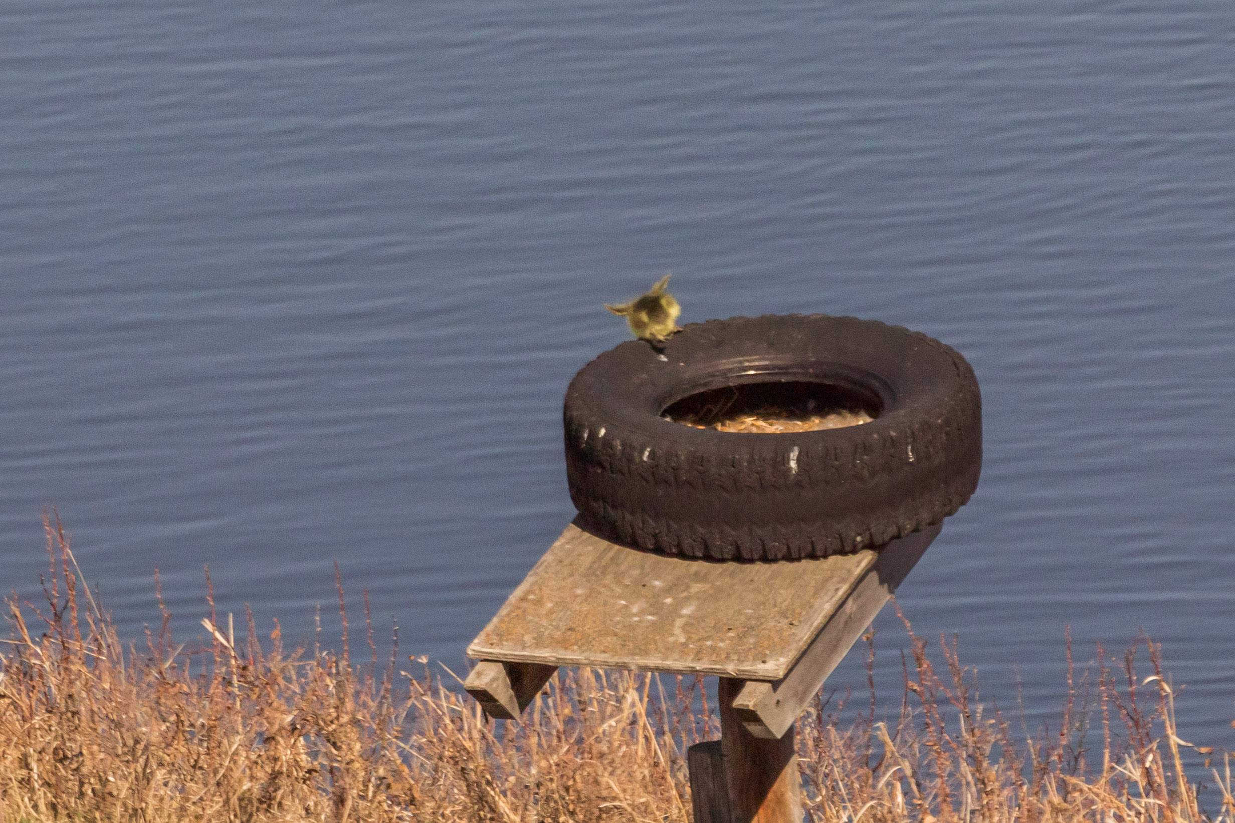 geese-8.jpg