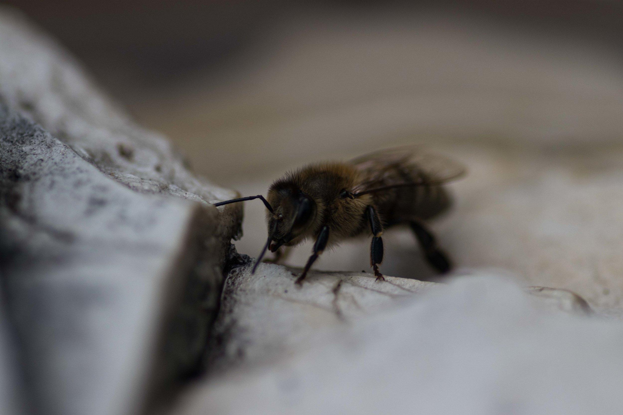 The Neighbour's Honey Bee