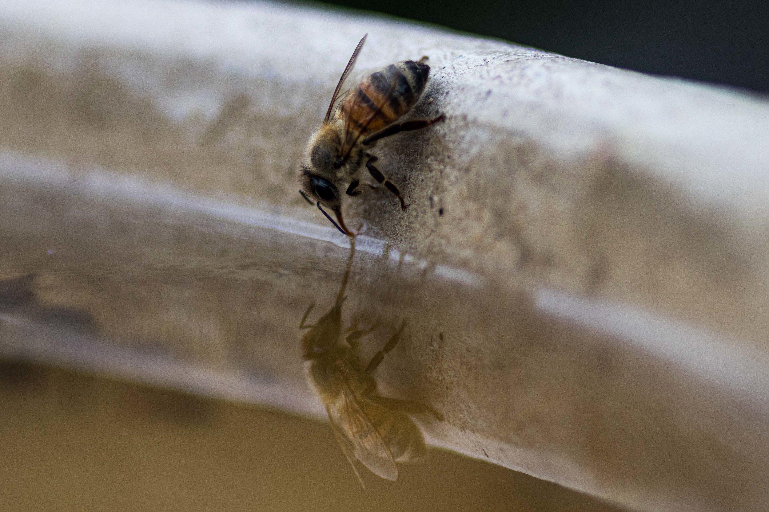 Honey Bee reflection