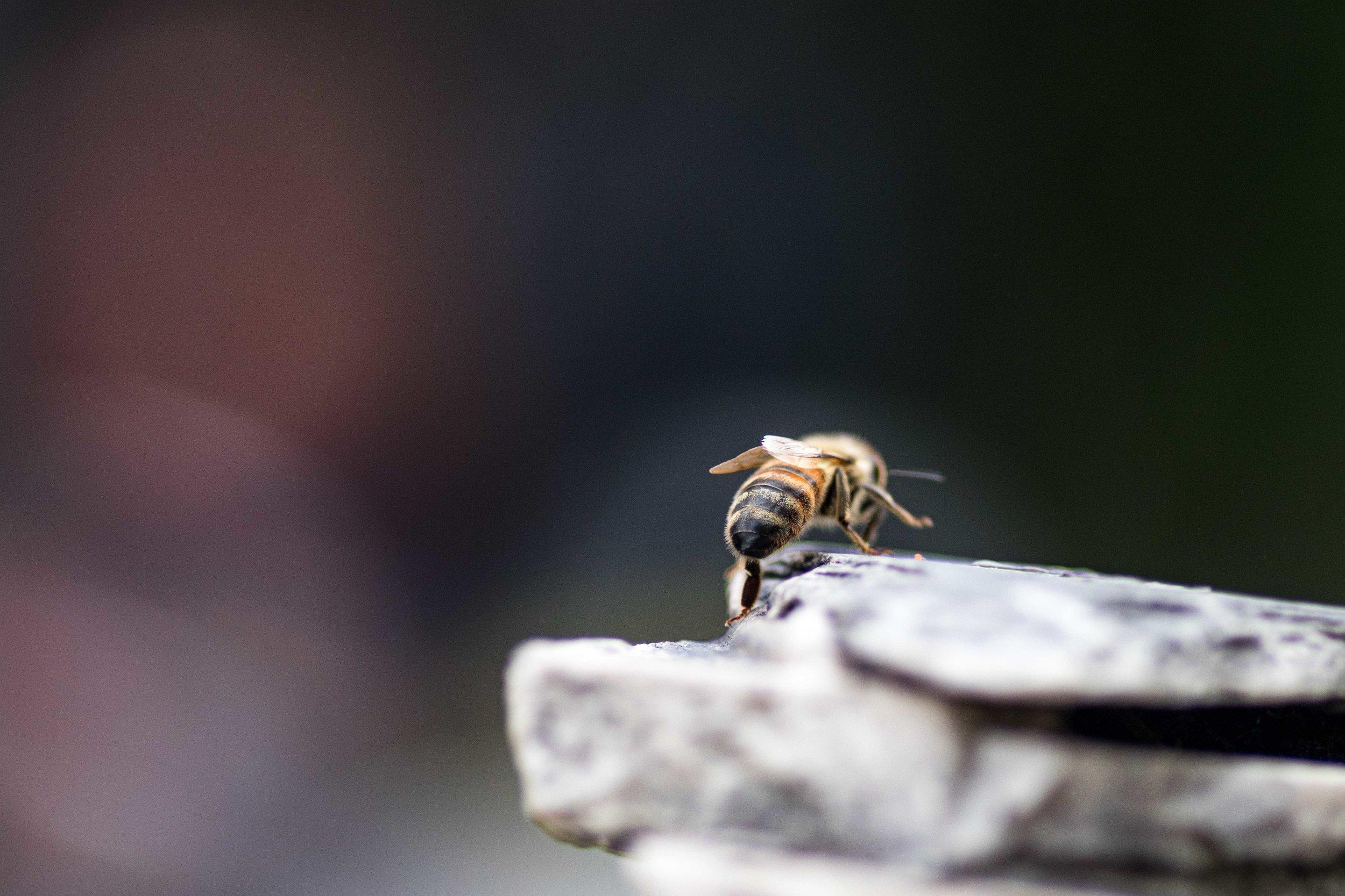 Honey Bee Strut