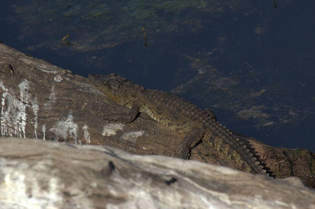 Crocodile at Ranthambore Photo credit:  travelwayoflife